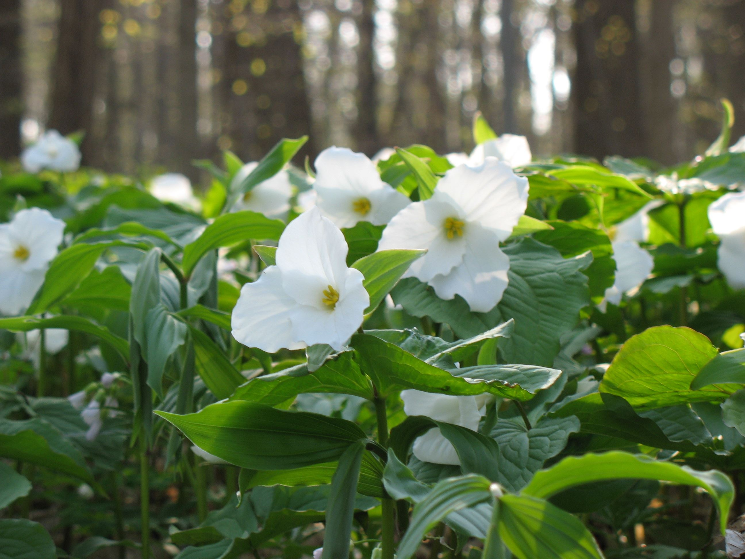 large flowered trillium in bloom